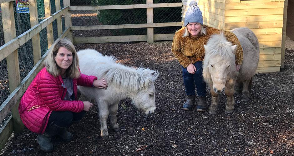 Christmas Shetland Ponies