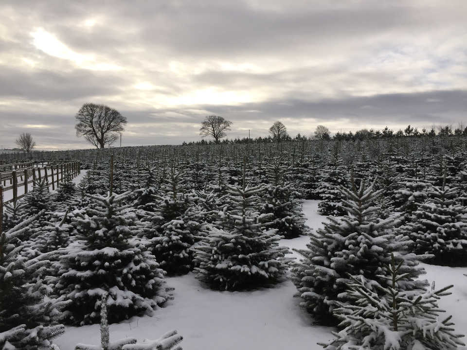 Sheffield Christmas Tree Company Farm